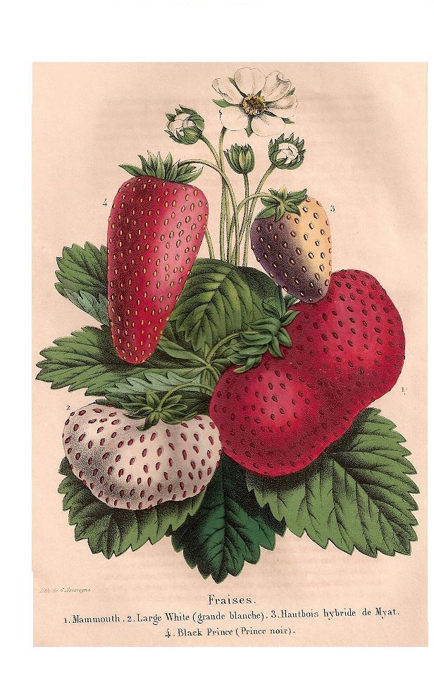 Barne's large White e.a. Belg.Hort.-1851-