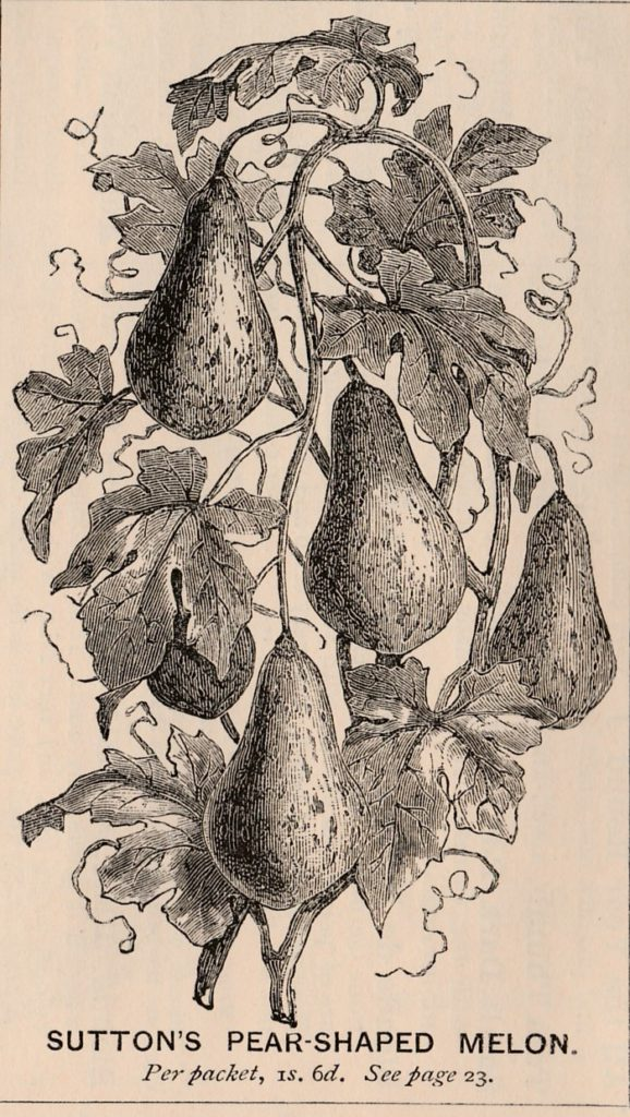 Pear shaped melon-Sutton-1878-2