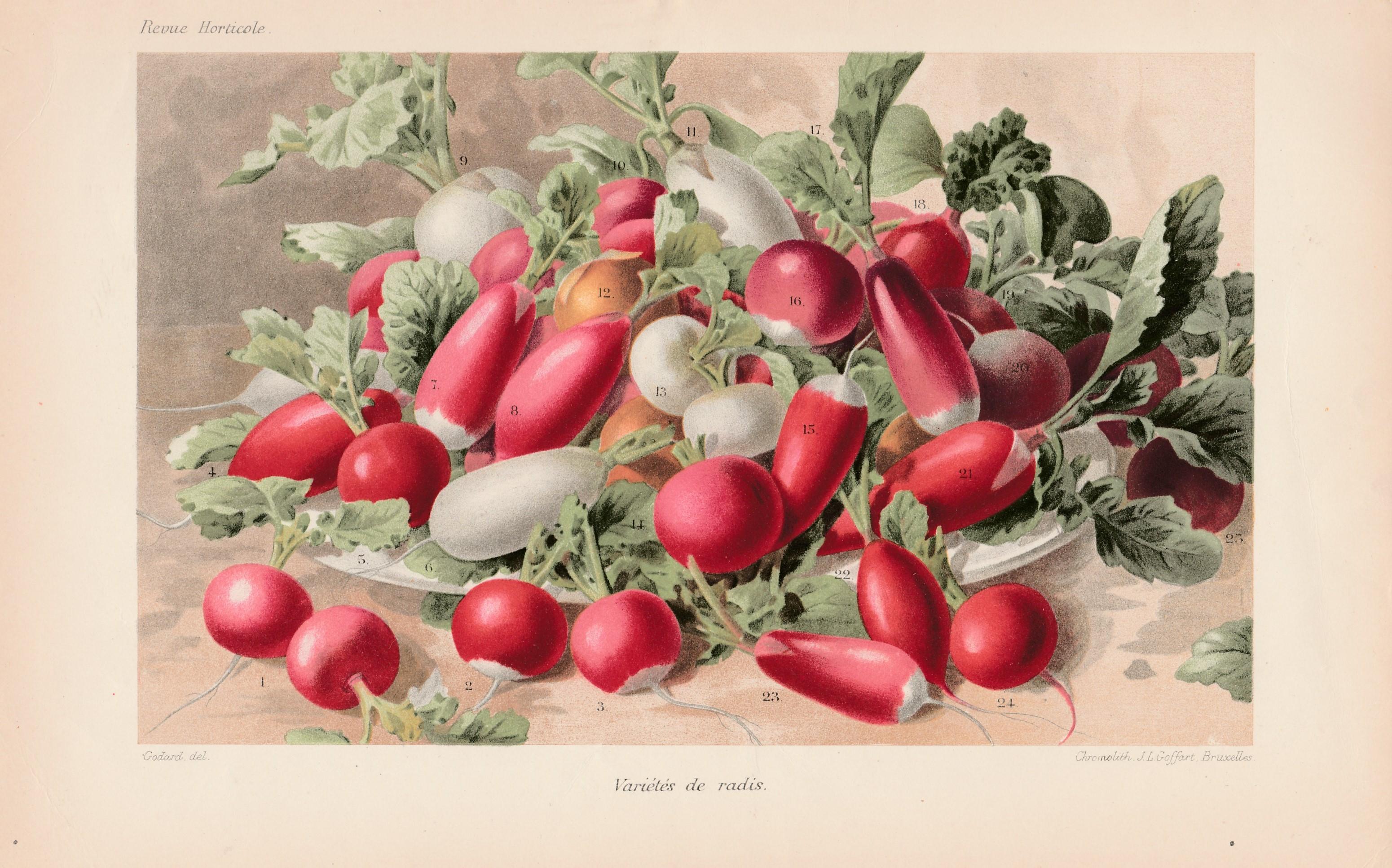 Revue-Horticole-1898-les-radis-