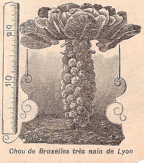 Spruitkool, Nain de Lyon' Rivoire-1912- - kopie